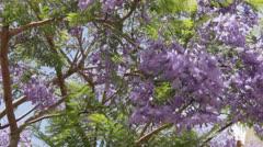 Jacaranda blossoms on the street. Stock Footage