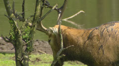 Pere David's Deer (Elaphurus davidianus) in rut, scrubs antlers - close up Stock Footage
