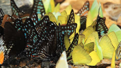 Butterfly group Stock Footage