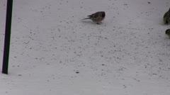 Common Redpolls Feeding on the Ground Stock Footage