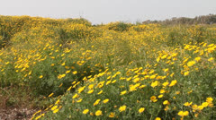 Yellow daisies field Stock Footage