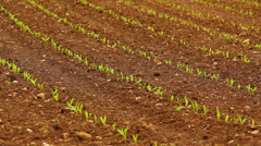 Young corn on the field Stock Footage