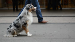 Australian shepherd sitting in a crowded street Stock Footage