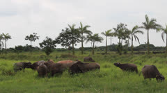 Buffalo grazing in a field Stock Footage