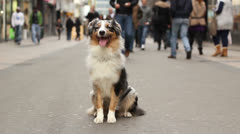 australian shepherd sitting in a crowded street - stock footage