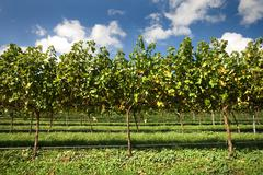 grapevines - stock photo