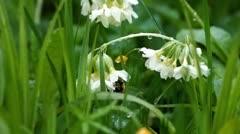 Bumblebee - stock footage