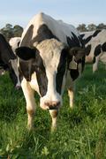 Holstein friesian cow Stock Photos