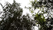 Stock Video Footage of Bamboo trees swaying in wind