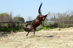 Brown stallion kicking in paddock Stock Photos