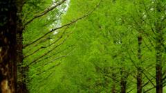 Metasequoia leaves swaying in wind Stock Footage