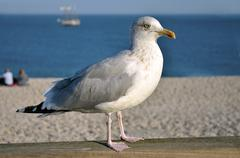 Closeup herring gull Stock Photos