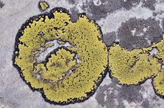 Map lichen on rock - stock photo