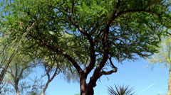 Velvet mesquite tree at Ethel M Botanical Gardens, Las Vegas Stock Footage