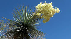 Blooming Yucca. Ethel M Botanical Cactus Gardens, Las Vegas Stock Footage