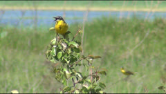 Yellow wagtail Stock Footage