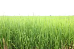 Green rice Stock Photos