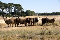 murray grey cattle - stock photo