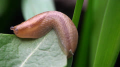 Snail without a house Stock Footage