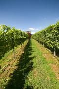harvesting grapes - stock photo