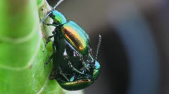 Stock Video Footage of reproduction beetles