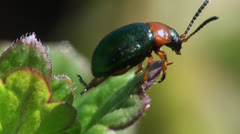 Small two-tone beetle Stock Footage