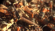 Stock Video Footage of Ants in an ant hill run
