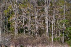 Very thick forest with bare trees in spring Stock Photos