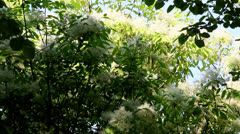 Elderflower Stock Footage