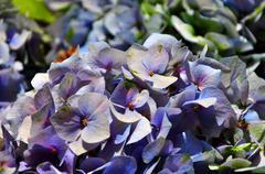 Hydrangea flowers blue and purple Stock Photos