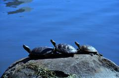Three turtles on the rock - stock photo