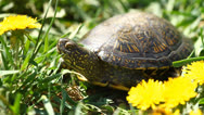 Stock Video Footage of Tortoise on the Grass