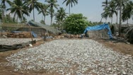 Stock Video Footage of Abundance of fresh fish drying in sun