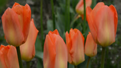 Tulips in orange Stock Footage