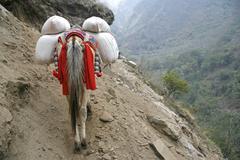 donkey carrying heavy loads, annapurna, nepal - stock photo