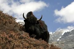 wild yak in himalayas, annapurna, nepal - stock photo