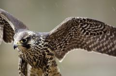 young merlin, falco columbarius - stock photo