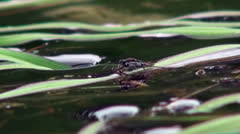 Gerridae water skater bug, nature of the ability to walk on water, macro Stock Footage