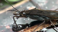 Stock Video Footage of Gerridae water skater bug, nature of the ability to walk on water, macro