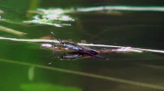 Gerridae water skater bug, nature of the ability to walk on water, macro - stock footage