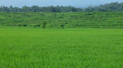 Paddy fields - stock footage