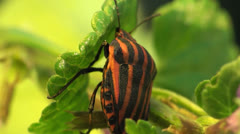Graphosoma lineatum sitting on the grass Stock Footage