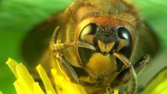 Hornet sitting on leaf Stock Footage