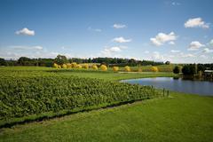 vineyard scene - stock photo