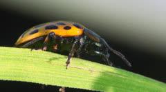 Psyllobora vigintiduopunctata sitting on leaf Stock Footage
