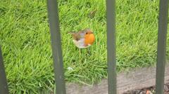 Robin redbreast in Hyde Park-London - stock footage