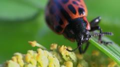 Ladybug sitting on leaf Stock Footage