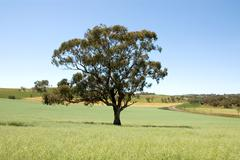 tree in a paddock - stock photo