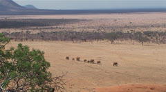 African elephants in the savannah Stock Footage