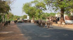 HAMPI, KARNATAKA, INDIA - APRIL 2013: Everyday street scene with herd of cows - stock footage